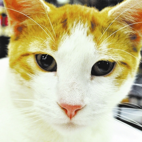 BB, Happy Home BB is a beautiful orange and white 1-year-old girl. She's friendly and very playful. She has been waiting for three months for a forever home so she can get out of her cage in the ...