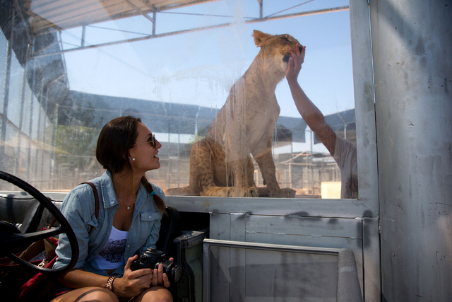 Kathleen Nixon, 17, watches as lion handler Javier Quezada gives a New York strip steak treat to one of the lions at the Lion Habitat Ranch, 382 Bruner Ave., Friday, Aug. 1, 2014. (Samantha Clemen ...