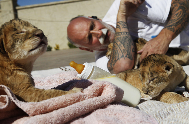 Owner and animal trainer Keith Evans hangs out with 4 days old lion cubs at the Lion Habitat Ranch in Henderson on Oct. 15, 2013. (Jason Bean/Las Vegas Review-Journal)
