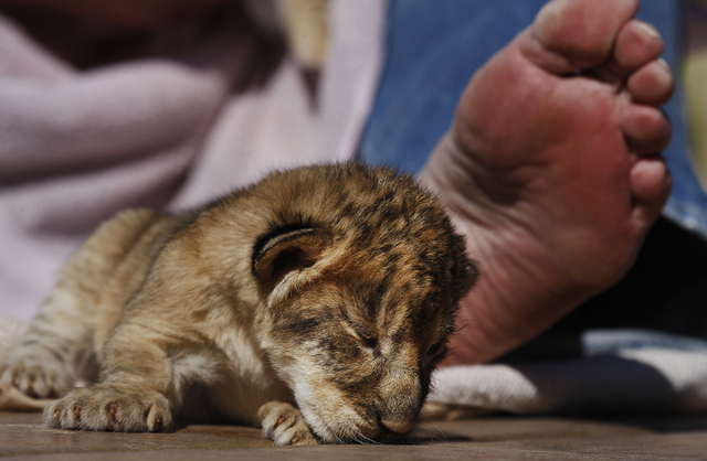 A 4 day old lion cub hangs out with owner and animal trainer Keith Evans at the Lion Habitat Ranch in Henderson on Oct. 15, 2013. (Jason Bean/Las Vegas Review-Journal)