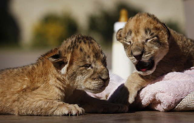 4 days old lion cubs at the Lion Habitat Ranch in Henderson on Oct. 15, 2013. (Jason Bean/Las Vegas Review-Journal)