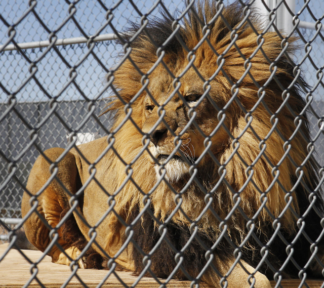 An adult male lion, seen on the other side of a plexiglass barrier, at the Lion Habitat Ranch in Henderson on Oct. 15, 2013. (Jason Bean/Las Vegas Review-Journal file)