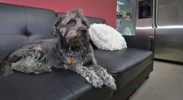 Leroy rests on a couch while keeping an eye on his owner, Desirae Smith, creative director at Reliable Banner, off camera, while she works during Fluffy Fridays at the company offices at 2410 N. D ...