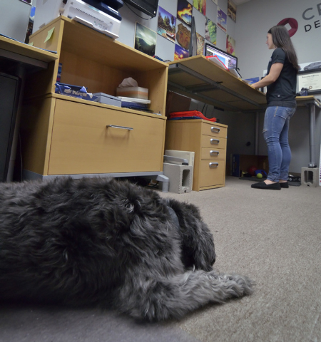 Leroy rests while his owner, Desirae Smith, creative director at Reliable Banner, works during Fluffy Fridays at the company offices at 2410 N. Decatur Blvd. in Las Vegas on Friday, March 13, 2015 ...