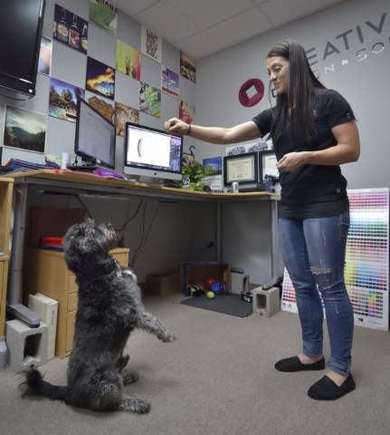 Leroy sits up before getting a treat from his owner, Desirae Smith, creative director at Reliable Banner, during Fluffy Fridays at the company offices at 2410 N. Decatur Blvd. in Las Vegas on Frid ...