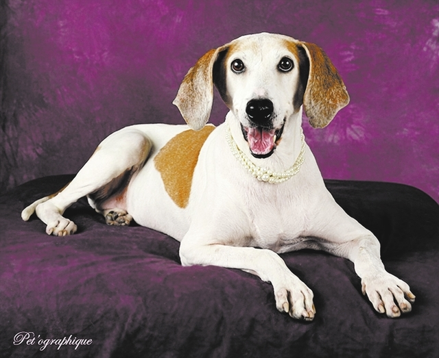 Holly, Nevada SPCA Open your heart to me for my twilight years, and I will bless you with unconditional devotion that will warm your heart long after I am gone. I am Holly, a whippet and greyhound ...
