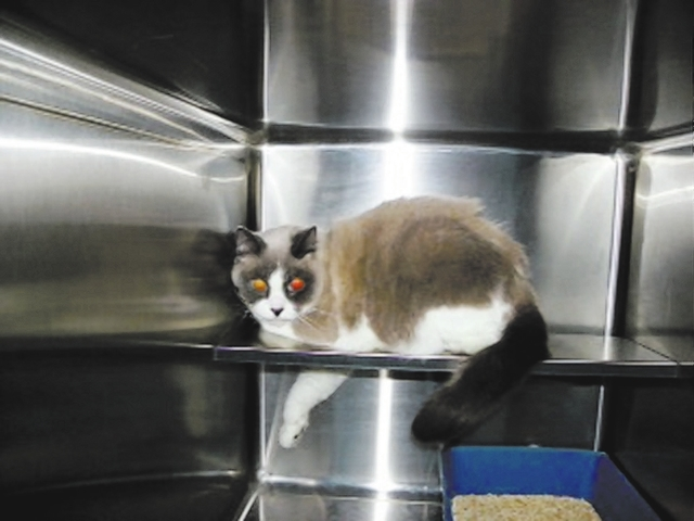 Lilianna & Livinia, Paws 4 Love Both snowshoes, Lilianna is 6 years old, and Livinia is 5 years old. These beautiful girls arrived with two male snowshoes. These four cats are very bonded and slee ...