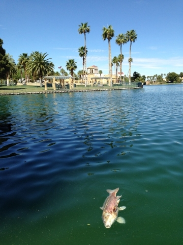 A dead fish floats in a man-made lake in the Desert Shores development in northwest Las Vegas Tuesday. So many fish have died that the Desert Shores Community Association hired an outside company  ...