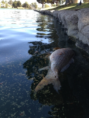 A dead fish floats along the shore of a manmade lake in the Desert Shores development in northwest Las Vegas Tuesday. (Henry Brean/Las Vegas Review-Journal)