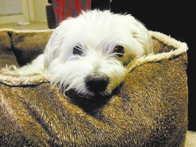 """Kathryn Gerade of Henderson said, """"This is my dog Fuzz. He is a 15-year-old Maltese. Truly the light in my life and a devoted best friend."""""""