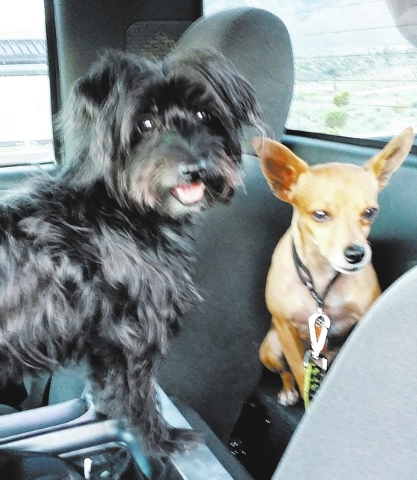 """Kaya Gray of Las Vegas said, """"These are the loves of my life: my morkie princess, Zula, and my Chihuahua, Frankenstein. Frankie was adopted in October from The Animal Foundation and has become t ..."""