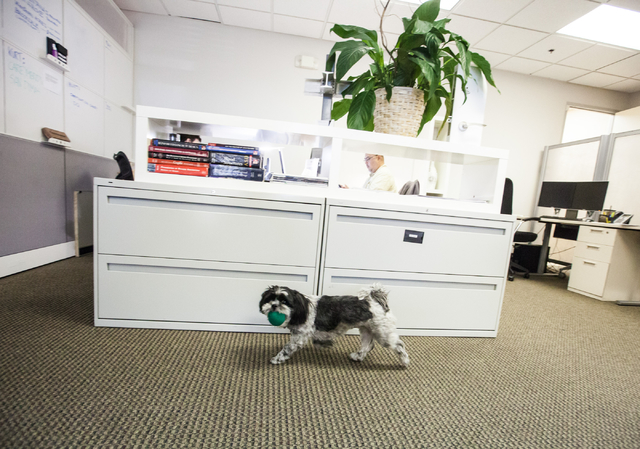 Pepper, a 7-year-old Shih Tzu owned by Ed Vance, walks around with a ball at architecture firm Ed Vance & Associates Architects, Feb. 27, 2015. (Chase Stevens/View)