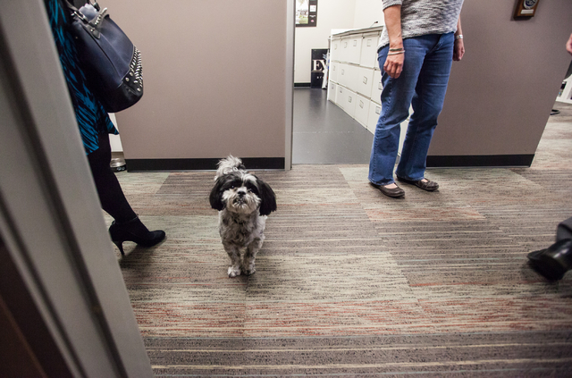 Pepper, a 7-year-old Shih Tzu owned by Ed Vance, hangs out in the hallway of architecture firm Ed Vance & Associates Architects, Feb. 27, 2015. (Chase Stevens/View)