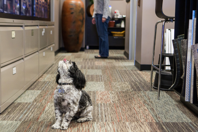 Pepper, a 7-year-old Shih Tzu owned by Ed Vance, waits for a treat at architecture firm Ed Vance & Associates Architects, Feb. 27, 2015. (Chase Stevens/View)
