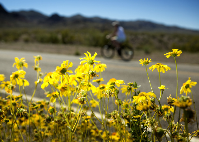 A bicyclist passes wildflowers blooming along Lakeshore Road on Friday, March 20, 2015. The Lake Mead National Recreation Area is blooming with wildflowers on the first day of spring. (Jeff Scheid ...