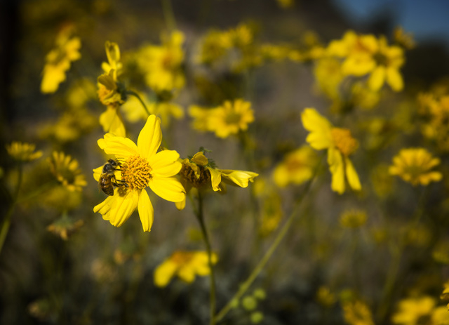 A bee lands on a wildflower along Lakeshore Road on Friday, March 20, 2015. The Lake Mead National Recreation Area is blooming with wildflowers on the first day of spring. (Jeff Scheid/Las Vegas R ...