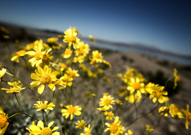 Wildflowers bloom along Lakeshore Road on Friday, March 20, 2015.  The Lake Mead National Recreation Area is blooming with wildflowers on the first day of spring. (Jeff Scheid/Las Vegas Review-Jou ...