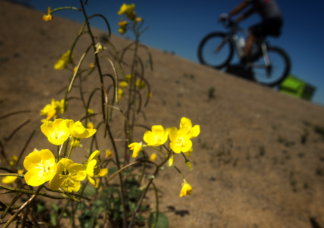 A bicyclist passes wildflowers on the River Mountains Loop Trail east of Boulder City on Friday, March 20, 2015. The Lake Mead National Recreation Area is blooming with wildflowers on the first da ...