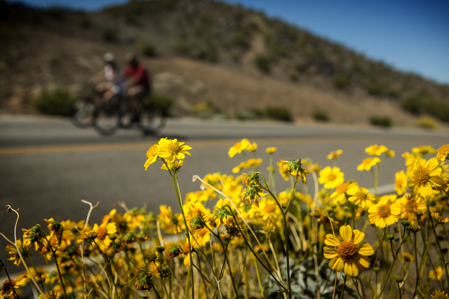Bicyclists pass wildflowers blooming along Lakeshore Road on Friday, March 20, 2015. The Lake Mead National Recreation Area is blooming with wildflowers on the first day of spring. (Jeff Scheid/La ...