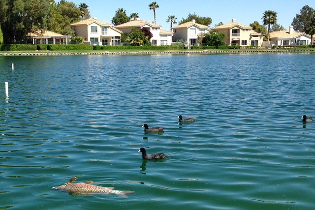 Coots swim past a dead fish floating in a man-made lake in the Desert Shores development in northwest Las Vegas Tuesday. The ongoing fish die-off is being blamed on a lack of dissolved oxygen in t ...