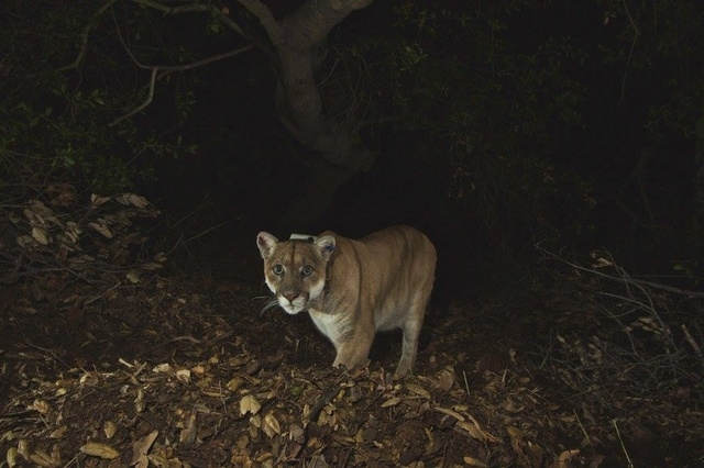 A mountain lion known as P-22 is shown in this remote camera image set up on a fresh deer kill in Griffith Park in November 2014. The mountain lion was found on April 13, 2015, taking refuge in th ...