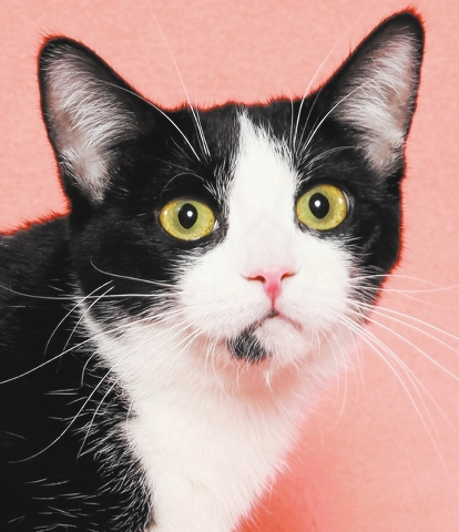 Jenn, All Fur Love Jenn is a sweet kitty who enjoys playing and getting to know her surroundings. She loves toys and chasing her siblings. Jenn was born April 11, 2014, and is spayed, current on v ...