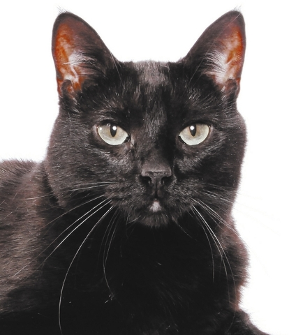 Ping, All Fur Love Ping is very energetic and enjoys everything she can play with. She loves playing with toys and having her head and cheek scratched.  She meows at you to get your attention. Pin ...