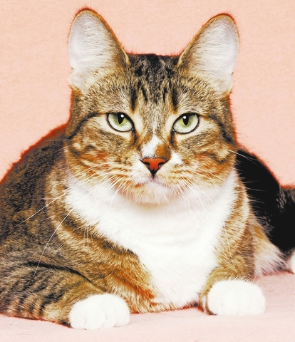 Queenie, All Fur Love Queenie is a sweet girl who would enjoy a comfortable home and family to love her forever. She is very talkative, loving, likes to be brushed and is a great lap cat. She tole ...