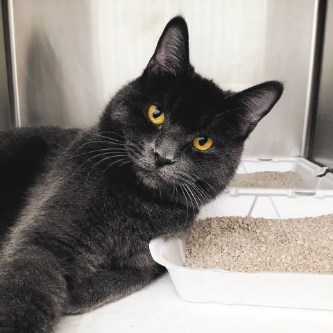 Francesco, The Animal Foundation I'm Francesco (ID No. A830196), and I'm a handsome, 1-year-old, neutered male domestic shorthair with lots of love to give. I'm mellow, friendly and while I  ...