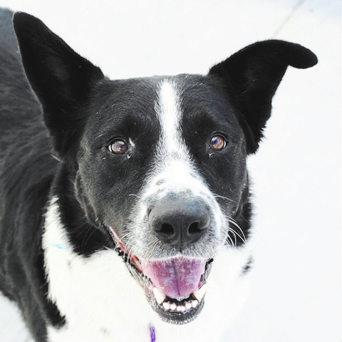 Miller, The Animal Foundation My name is Miller (ID No. A804417), and I'm a 2-year-old neutered male border collie looking for my forever home. I'm friendly and active and live for long walks  ...
