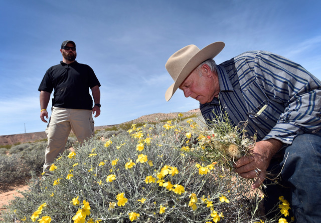 Rancher Cliven Bundy, right, examines the desert foliage where his cattle continues to graze during an event near his ranch in Bunkerville on Saturday, April 11, 2015.  Bundy is hosting the event  ...