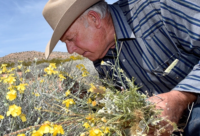 Rancher Cliven Bundy examines the desert foliage where his cattle continues to graze during an event near his ranch in Bunkerville on Saturday, April 11, 2015.  Bundy is hosting the event celebrat ...
