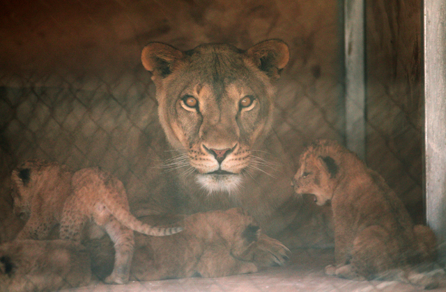 Six-year-old Pebbels, center, looks up as she appears to notice the camera while tending to her cubs in a den box at Lion Habitat Ranch Tuesday, April 21, 2015, in Henderson. Reflections of a fenc ...
