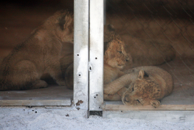 African lion cubs lounge in a den box at Lion Habitat Ranch Tuesday, April 21, 2015, in Henderson. Reflections of a fence on a glass partition can be seen. Six-year-old Pebbels gave birth to six c ...