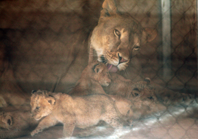 Six-year-old Pebbels, bathes her cubs in a den box at Lion Habitat Ranch Tuesday, April 21, 2015, in Henderson. Reflections of a fence on a glass partitioncan be seen. Pebbels gave birth to six cu ...