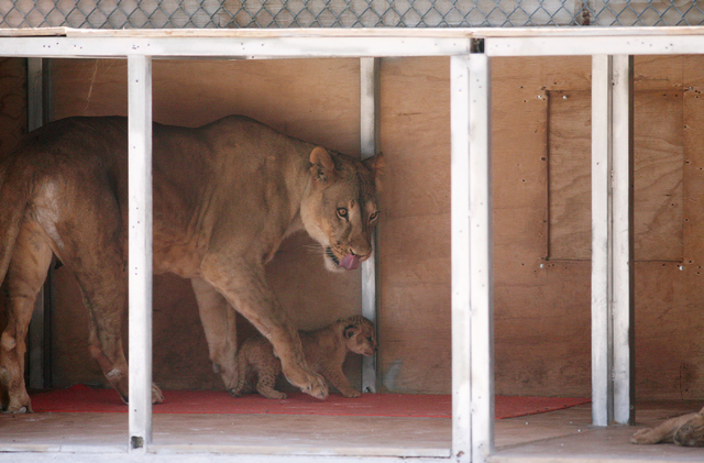 Six-year-old Pebbels, left, watches over a cub in a den box at Lion Habitat Ranch Tuesday, April 21, 2015, in Henderson. Pebbels gave birth to six cubs on April 1. The five surviving cubs are doin ...