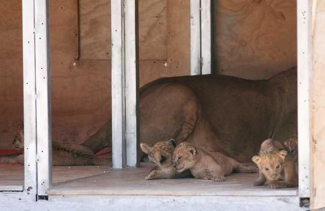 All five African lion cubs lay near their mother in a den box at Lion Habitat Ranch Tuesday, April 21, 2015, in Henderson. Reflections of a fence on a glass partition can be seen. Six-year-old Peb ...