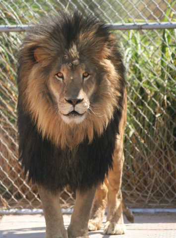 Swifty, a male African lion, walks in his den at Lion Habitat Ranch Tuesday, April 21, 2015, in Henderson. Swifty fathered six cubs that were born on April 1. The five surviving cubs are doing wel ...