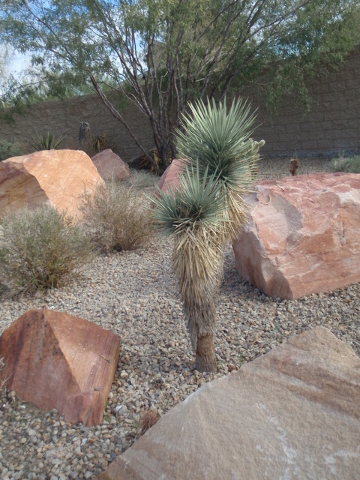 Courtesy Photo Moving a Joshua tree is not difficult if it's been planted once and watered with drip irrigation.