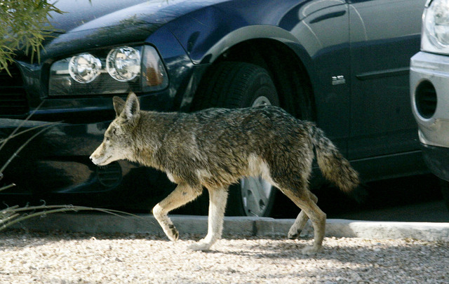 A coyote wanders through a parking lot on South Pearl Street in Henderson in January 2009. The coyote wandered for several hours, eluding animal control officers before escaping into the desert. ( ...