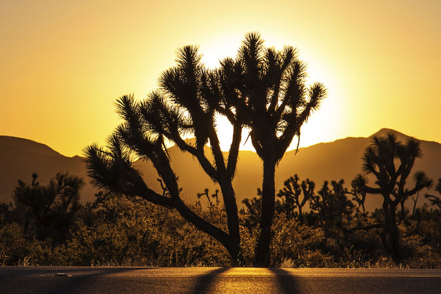 The two-lane highway that runs from Nipton, Calif., to Searchlight often boasts a fair springtime show of desert wildflowers, many varieties of cactus and an extensive forest of Joshua trees. (Thi ...