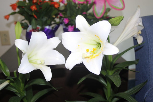 Like many events that have a religious background, Easter has its own floral emblem, the Easter lily. Although the flowers will have passed after a few weeks, the plant itself is not dead. The bul ...