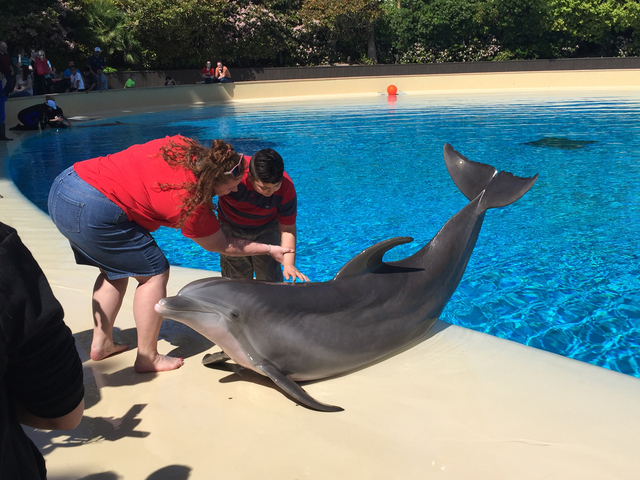 Assisted by Nevada Blind Children's Foundation Program Director Briana Myers, student Jonathan Palma touches a dolphin for the first time during a field trip to the Siegfried & Roy's Secret Ga ...