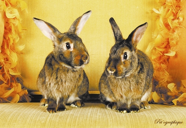Flora & Fauna, Nevada SPCA We are beloved young sisters, Flora and Fauna, bonded for life. We are satin and agouti mix bunnies, 18 months of age. We were rescued from a breeder and spayed. Please  ...