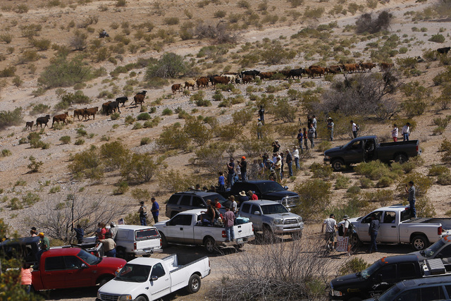 Supporters of the Bundy family watch as cattle walk past them outside of Bunkerville after they were released by the BLM on April 12, 2014. (Jason Bean/Las Vegas Review-Journal)