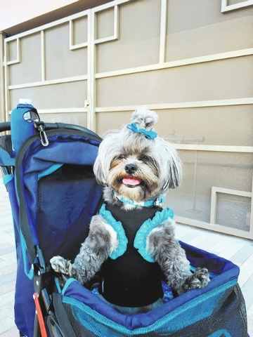 """Denny and Rene Kevish of Henderson said, """"This is Gucci. She loves to shop and travel! She goes everywhere with us."""""""