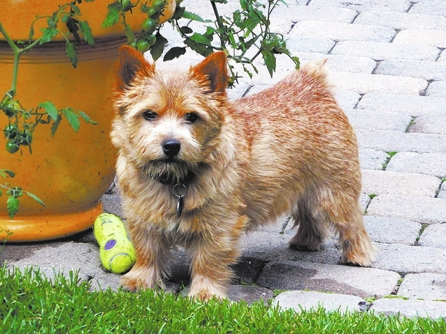 "Susan Buckley of Las Vegas said, ""I too own a Norwich Terrier, and the picture of Opie in the Feb. 26 View looks just like our Moose. Opie is the first Norwich I have seen in Las Vegas besides our ..."