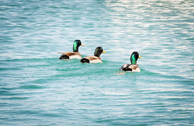Tonya Harvey/Real Estate Millions  A trio of ducks swim across Lake Sahara at the Lakes in Las Vegas.