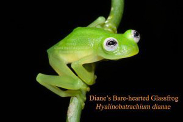The Costa Rican Amphibian Research Center announced a newly discovered and described species of glassfrog, Hyalinobatrachium dianae, from the Caribbean slopes of Costa Rica. The authors distinguis ...