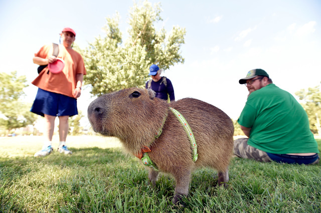 JoeJoe, a 2-year-old capybara, gets looks from visitors at Sunset Park as his owner Cody Kennedy's, right, looks on Monday, April 20, 2015, in Las Vegas. JoeJoe, a resident of northern Arizona, ha ...
